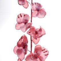 Phalaenopsis discovery pz.3