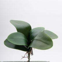 Foglia Phalaenopsis x6 pz. 3